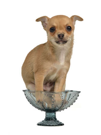 Chihuahua puppy in a blue glass vase, isolated Stock Photo - 13877823