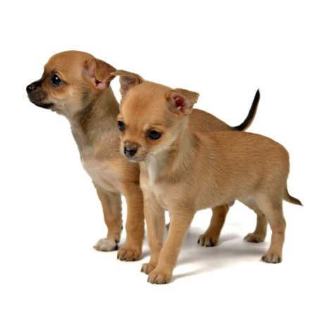 perro asustado: Dos chihuahua cachorros, aisladas sobre fondo blanco