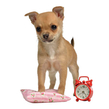 Puppy with alarm-clock and pillow, isolated on white background photo