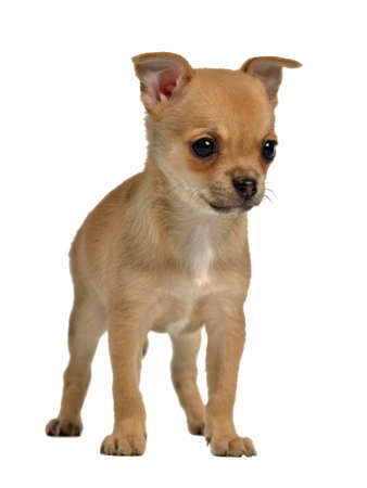 Smally puppy Isolated Stock Photo - 13903925