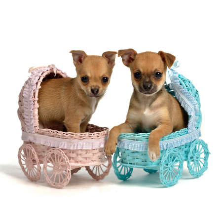 Puppies male and bitch in baby carriages, isolated on white photo