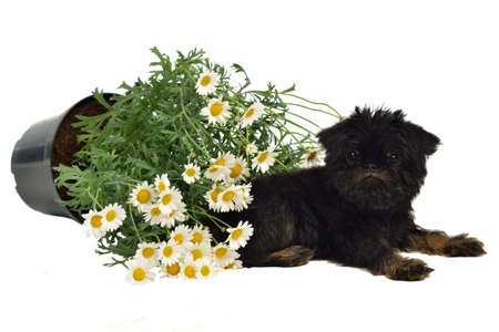 scoundrel: Puppy with a pot with Daisies on the floor, isolated on white