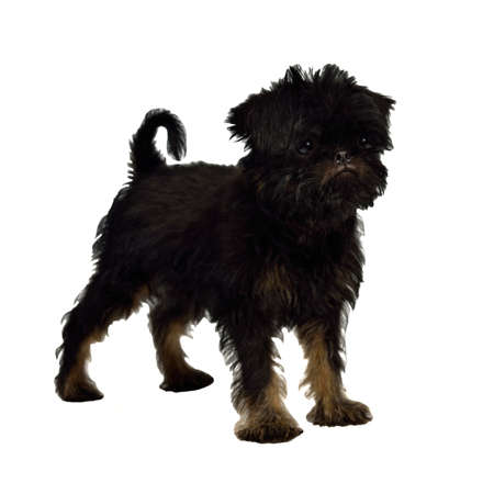 brussels griffon: Griffon Bruxellois puppy 2 months old, isolated