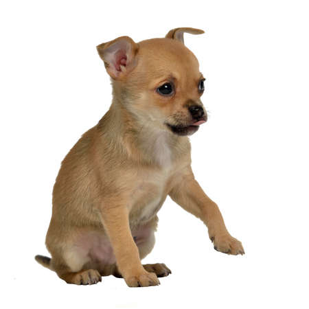 Chihuahua puppy holding paw up to shake, isolated on white photo