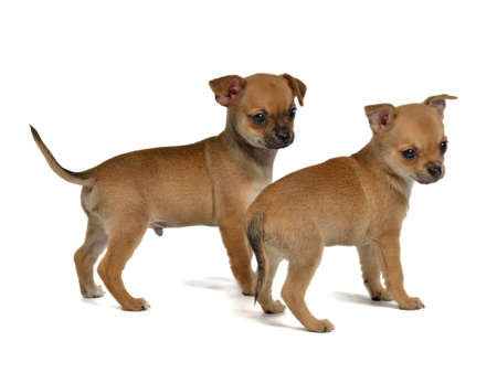 perro asustado: Dos cachorros de chihuahua, aislados en blanco Foto de archivo
