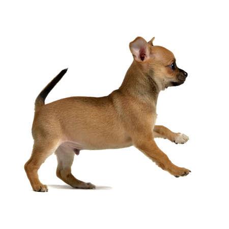 perro corriendo: Chihuahua cachorro de funcionamiento, aisladas sobre fondo blanco
