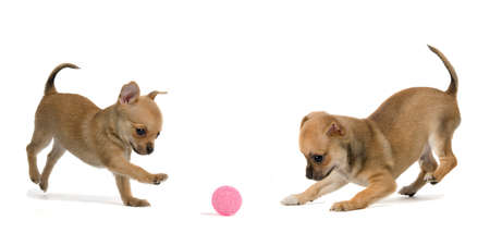Two puppies playing ball, isolated on white background photo