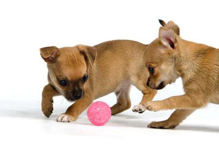 perro corriendo: Dos cachorros con pelota, aisladas sobre fondo blanco Foto de archivo