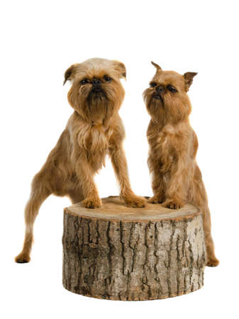 brussels griffon: Couple of griffons posing on stump, isolated on white
