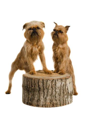 griffon bruxellois: Couple of griffons posing on stump, isolated on white