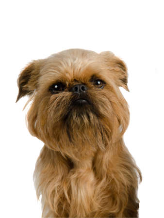 brussels griffon: Griffon Bruxellois portrait, isolated on white background