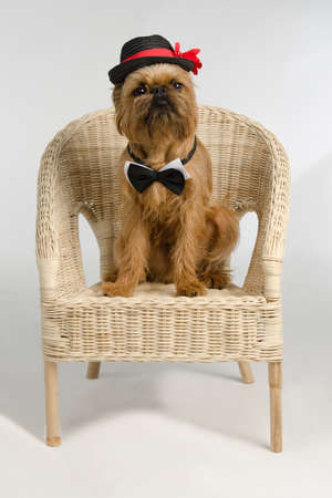 Dog dressed as a groom sits on wicker armchair photo