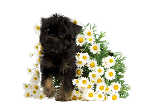 griffon bruxellois: Puppy inside the bunch of Daisies, isolated on white background Stock Photo