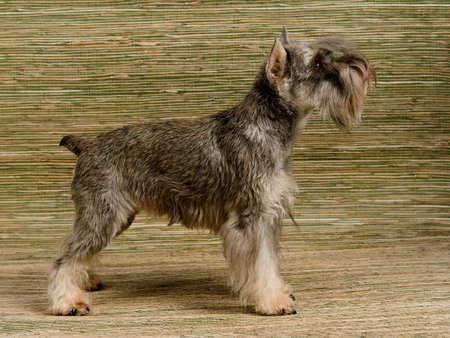 miniature breed: Zwergschnauzer pila show, vista lateral Foto de archivo