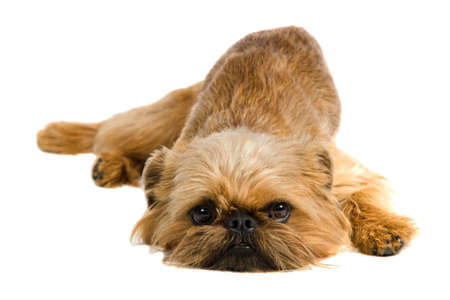 brussels griffon: Griffon Bruxellois lying, isolated on white background