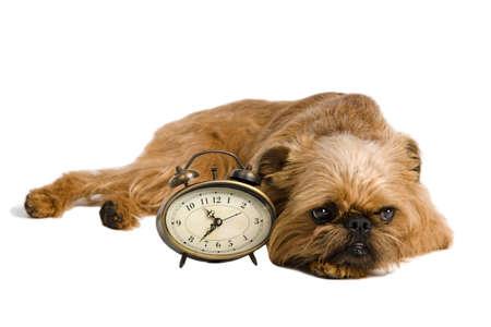 griffon: Griffon Bruxellois with retro alarm-clock, isolated on white