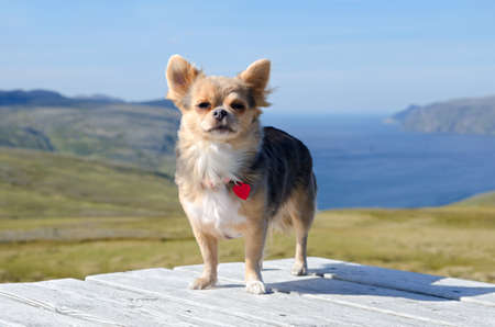 Chihuahua traveller against Norwegian landscape 写真素材
