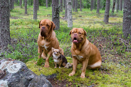 Group of dogs in the pine forest photo