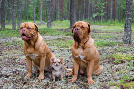 dogue de bordeaux: Three dogs in the pine forest