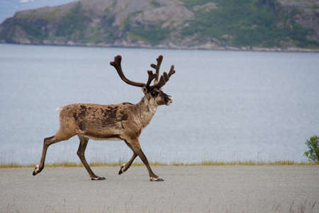 Wild reindeer running, Norway, Scandinavia