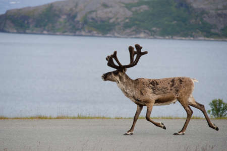 caribou: Walking reeindeer against natural landscape, Norway