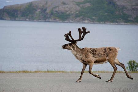 running reindeer: Walking reeindeer against natural landscape, Norway