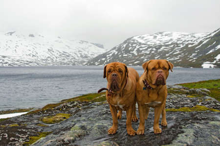 dogue de bordeaux: Couple of French Mastiffs at the mountains glacier, Northern Norway