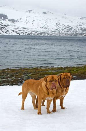 jostedal: Two Dogues De Bordeaux against glacier, summer in Norway mountains
