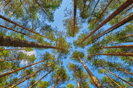 Bright summer pine forest head-up view