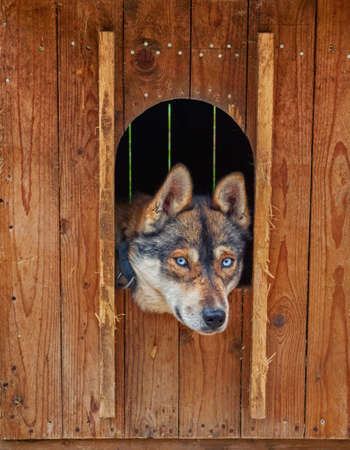 rovaniemi: Sad and Deep Look of Husky dog locked in a wooden cage