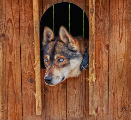 locked in: Sad and Deep Look of Husky dog locked in a wooden cage