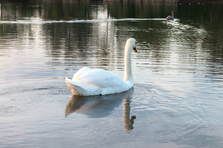 swan in the pond photo