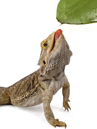 bearded dragon licking water droplet from a leaf     photo