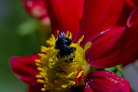 extreme closeup of a bee feeding on nectar photo
