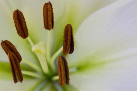 stigmate: pr�s de la stigmatisation ou �tamine d'une fleur pourpre Banque d'images