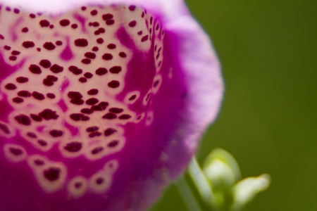 spotted flower: exteme close up of purple or pink spotted flower