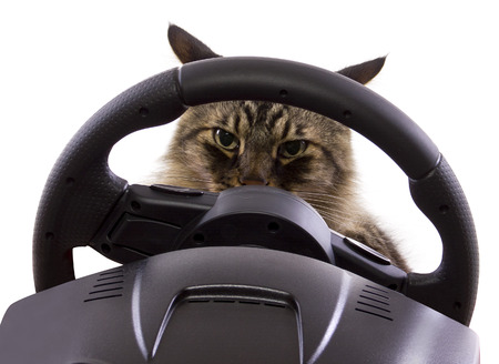 brown maine coon cat driving a steering wheel  photo