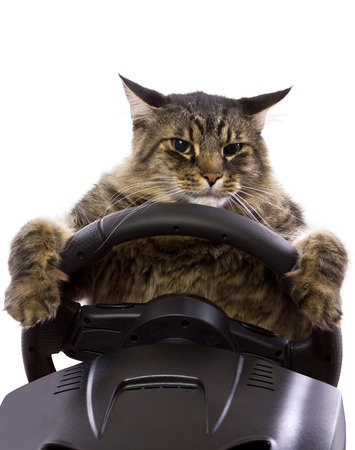 maine cat: brown maine coon cat driving a steering wheel  Stock Photo