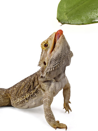 Pagona Reptile      photo
