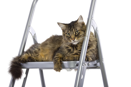 staircases: cat feeling proud being on top of a ladder Stock Photo