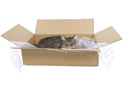curious Maine Coon cat in a shipping box