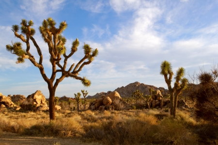 mohave: Joshua Trees stand in the open Mohave Desert with mountains in the background.