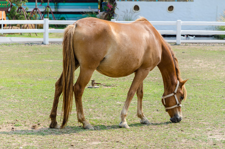 horseflesh: Brown horse is eating grasses
