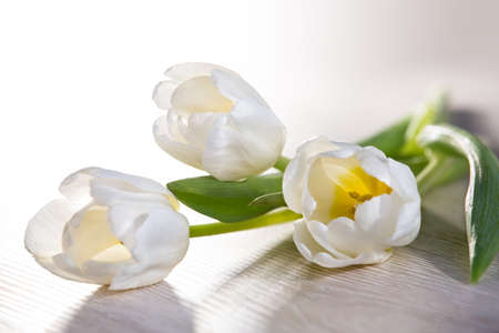 White tulips lie on the table. Postcard, congratulations.