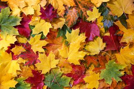 Wet colored autumn maple leaves, top view Stockfoto