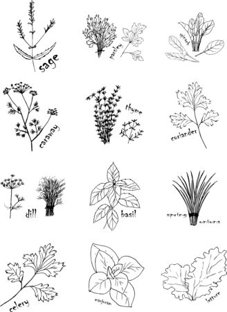 Vector set of hand drawn herbs. Spice sketch black lines on a white background.