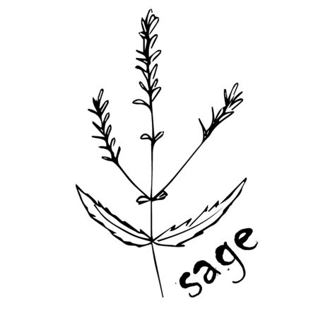 Vector sketch herbs, spices, plants, seasoning kitchen silhouette on a white background, drawn black lines. Sage twig