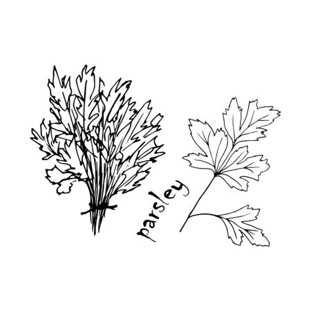 Vector sketch herbs, spices, plants, seasoning kitchen silhouette on a white background, drawn black lines. A bunch of parsley Banco de Imagens - 150551500