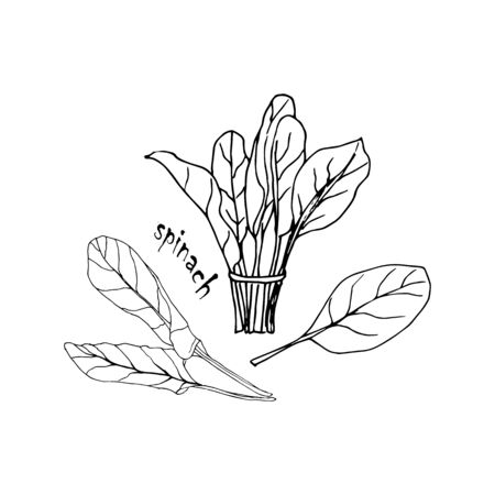 Vector set of herbs, spices, plants, seasoning kitchen silhouette on a white background, drawn black lines. Spinach leaf