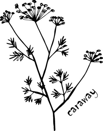 Vector sketch herbs, spices, plants, seasoning cuisine silhouette on white background, drawn black lines. Sprig of caraway seeds Banco de Imagens - 150551502